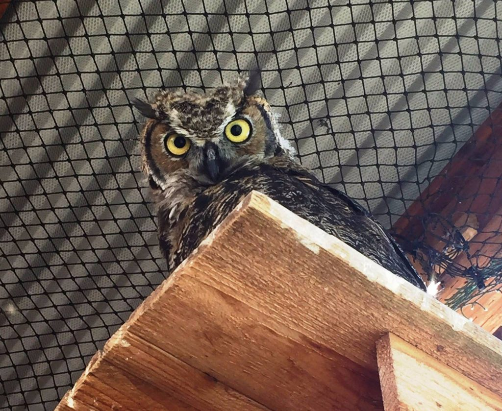 Owl in recovery