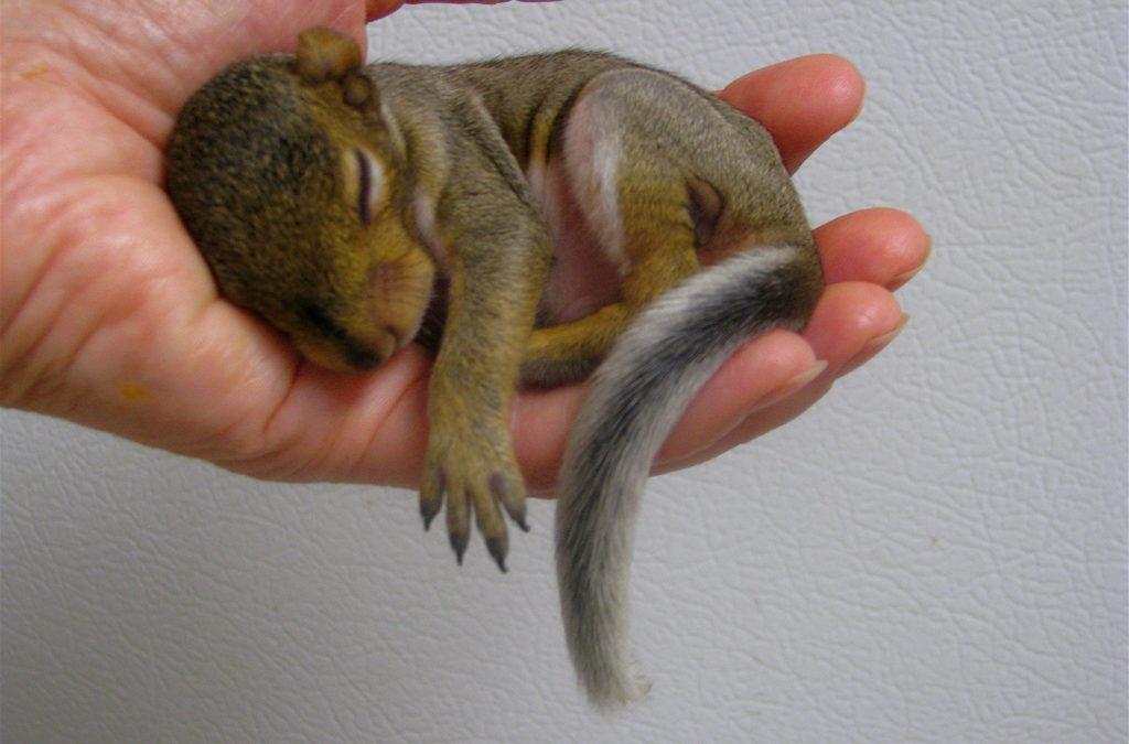 baby squirrel information