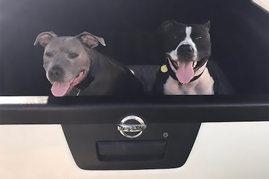 Dog friends sitting together in the back of a car
