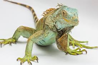 adopt-other-animals-iguana