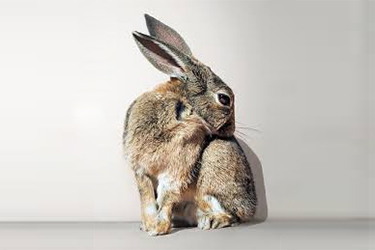 Rabbit Adoption Fees at Whatcom Humane Society