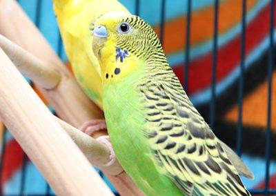 parakeets at Whatcom Humane Society