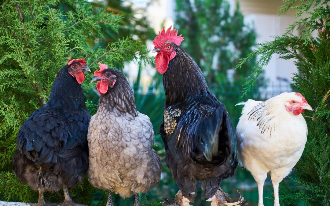 What the Cluck? Chickens 101