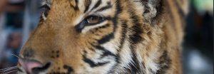 Tiger-face