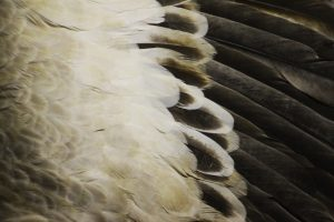 bird wing feathers - white, grey, black