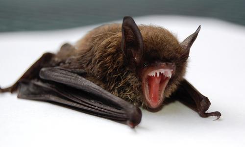 Bat myotis